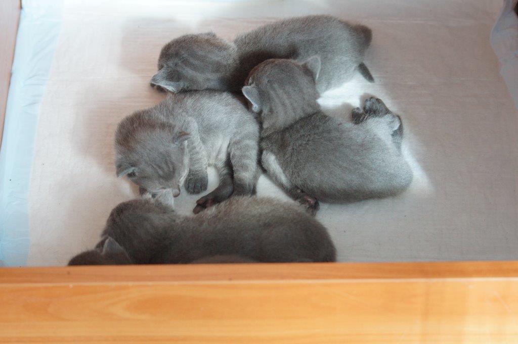Miot S kociątka Rosyjskie Niebieskie