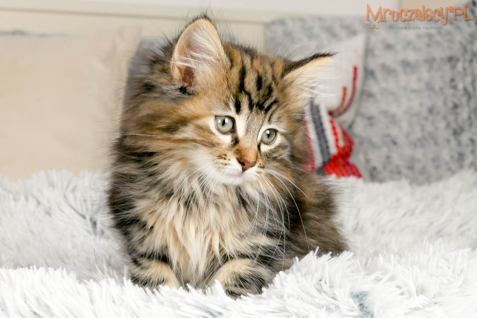 Kocięta   Norweskie   Leśne -KOTOPSY-