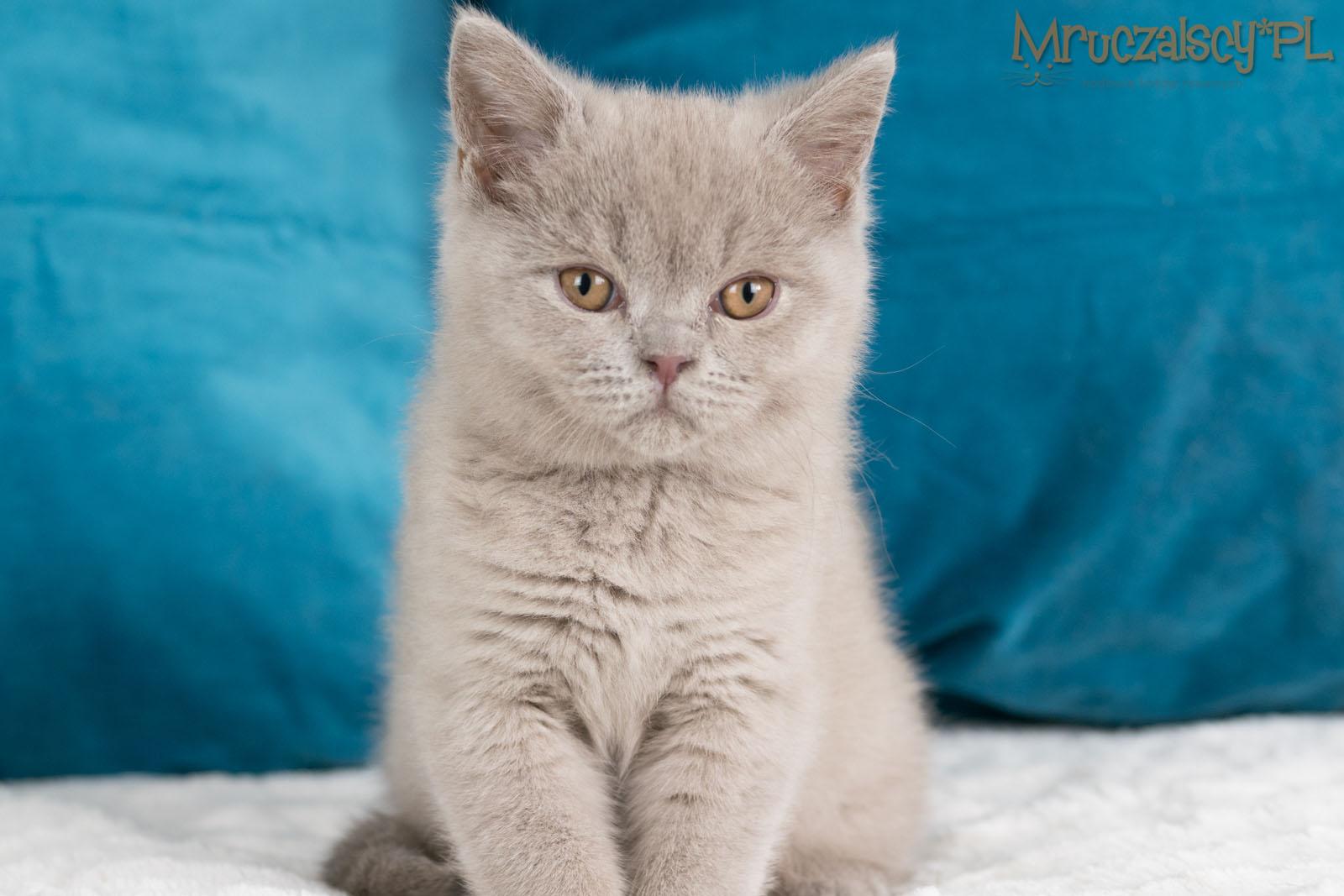 Kocięta Brytyjskie Krótkowłose